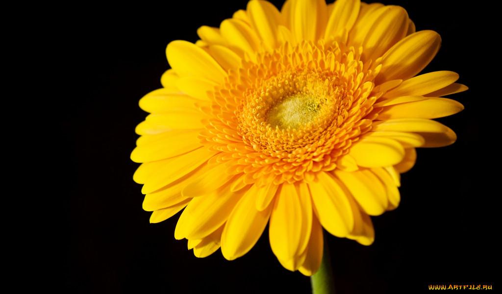 Цветы герберы обои для рабочего стола